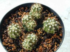 Melocactus matanzanus della famiglia delle Cactacee