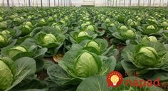 When to plant cabbage for seedlings? Help Losing Weight, Lose Weight, Grape Vineyard, Small Farm, Edible Garden, Gardening Tips, Grass, Plant Leaves, Cabbage