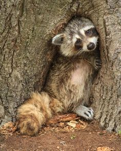 This Racoon was trying to hide inside a tree. I have a feeling its a female as it looked like her belly was full. Animals And Pets, Baby Animals, Funny Animals, Cute Animals, Baby Raccoon, Racoon, Beautiful Creatures, Animals Beautiful, Reptiles