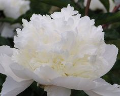Snow Mountain - Midseason Lactiflora, bomb-type double, white, opening light creamy pink, fading white, the bloom grows into a high mountain of snow white petals, clean and healthy buds open without trouble, strong stems, foliage medium dark green, (Bigger, 1946). www.peonyshop.com