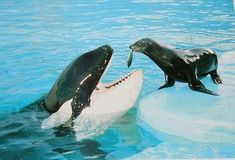 seal feeding an orca. Orcas in captivity know they will get free fish, therefore seals are not that important. Water Animals, Animals And Pets, Baby Animals, Funny Animals, Amazing Animals, Unusual Animals, Animals Beautiful, Orcas, Photo Animaliere