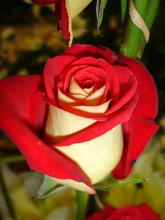Osiria rose, I MUST have these. They look like someone is trying to paint them red ; )