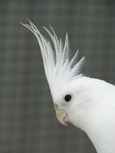 Cockatiel Birds - The cockatiel (Nymphicus hollandicus), also known as the quarrion and the weiro, is a member of the cockatoo family endemic to Australia. Description from pinterest.com. I searched for this on bing.com/images