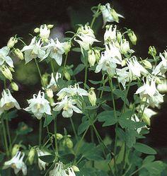 Aquilegia Nivea Munstead White (Gertrude Jekyll) Plants for Shade - gardenplants Woodland Plants, Woodland Garden, Garden Shrubs, Shade Garden, Green Garden, North Facing Garden, Dry Shade Plants, Shade Flowers, Spring Flowers