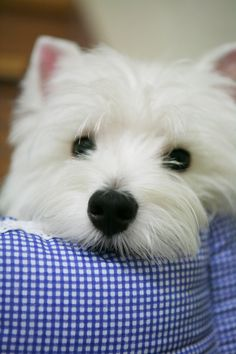 In my perfect world I would live in a cute little house and live with my cute little westie :)