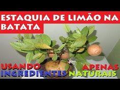 Ponha um galho de Limão numa Batata e veja o Crescimento Natural - YouTube