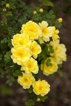 'Harrison's Yellow' | Hybrid Foetida, Hybrid Spinosissima, Shrub. George Folliott Harison 1824 | @ Ivo M. Vermeulen