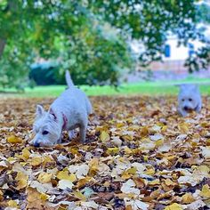 Autumn Animals, West Highland White, White Terrier, Autumn Day, Westies, Terriers, My Girl, Backdrops, Sisters