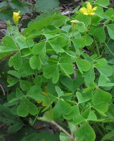 april Wood Sorrel Scientific name: Oxalis species What: leaves How: salad, seasoning Where: shady undergrowth When: spring, summer Nutritional Value: Vitamins A & C Dangers: Contains some oxalic acid, limit consumption to a small handful per day. Healing Herbs, Natural Healing, Oxalis Acetosella, Medicinal Weeds, Wood Sorrel, Edible Wild Plants, Plant Identification, Wild Edibles, All Nature