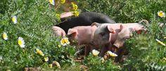 Mallorquinische Schweinchen als natürlicher Düngerlieferat auf der Finca Sa Teulera