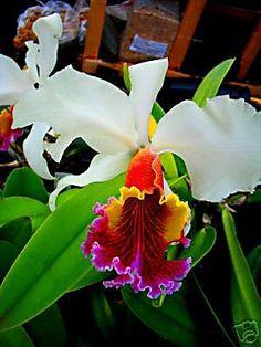 Cattleya Orchid                                                                                                                                                      Más