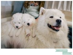 Samoyed puppies-- DEFINITELY getting one of these lil pups one day :)