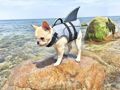 by @jameson.thefrenchie  DoubleTap & Tag a Friend Below by thefrenchielove