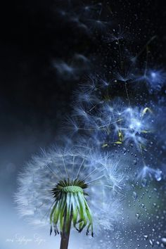 Cosmic syndrome by Lafugue Logos Dandelion Clock, Dandelion Wish, Dandelion Flower, Dandelion Seeds, Beautiful Flowers, Beautiful Pictures, Foto Art, Of Wallpaper, Make A Wish