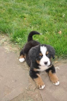 Bernese Mountain Puppy, this will be my dog one day!!