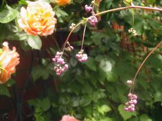 Thalictrum (Meadow Rue) and Polka Rose in June 2013.