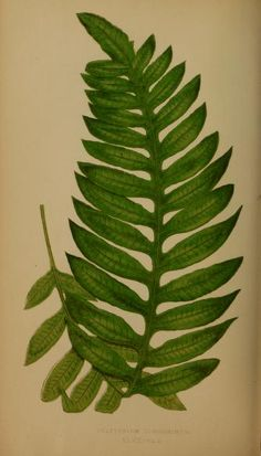 1856-60  -  v.2 -  Ferns: British and exotic... By  Lowe, E. J.