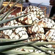Agave plants at Herradura Tequila plant.