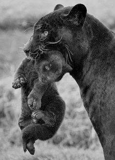 New Panther mom and cub....
