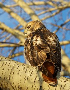Red-tailed Hawk (Buteo jamaicensis) can be seen sitting on telephone or power poles, as well as, fence posts along almost any road in the United States. It is the most common bird of prey and often confused with eagles soaring above the grasslands.