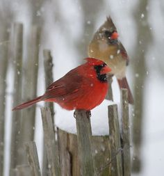 cardinal couple in the snow!