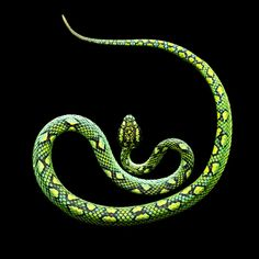 Mark Laita - Ceylonese Palm Viper, 2010   From a unique collection of Fine Art at http://www.1stdibs.com/art/