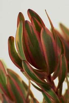 Leucadendron (Salignum, Safari Sunset, Silver Tree, Jubilee Crown, Cloudbank Jenny, Discolor, Galpini, Winter Sunshine etc.) Family Roots: Leucadendron is a genus of about 80 species of flowering plants in the family Proteaceae.