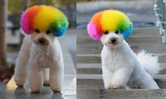 Clown dog cut and color....Really?!  I couldn't stop snickering at this one...I nearly wet myself  ! XD