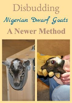 Learn newer techniques and equipment for disbudding goats with better success.