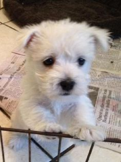 West Highland Terrier Female