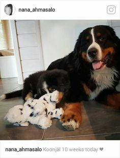 Bernese Mountain, Mountain Dogs, Animals And Pets, Cute Puppies, Fur Babies, Bliss, Dog Lovers, Magic, Future
