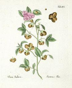 Tea|Ferdinand Vietz Botanical Prints 1800