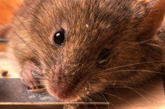 Myš chycená do pasti | Mouse in trap