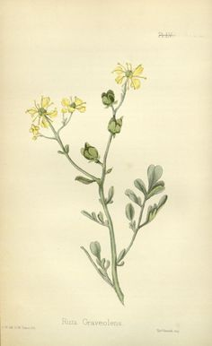 1853 v. 2 - The flora homoeopathica : - Biodiversity Heritage Library Ruta Graveolens, Illustration Art, Illustrations, Flowers, Stationary, Paintings, Tattoos, Leaves, Bouquets