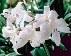 Crinum 'Jubilee' (Jubilee Crinum Lily)