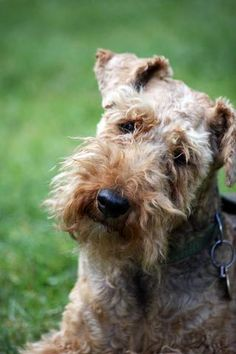 welsh terrier: again