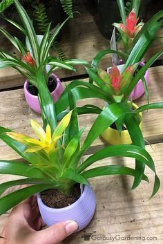 Bromeliads are unique tropical beauties that make great house plants! Bromeliad plant care isn't difficult, but is a bit different than your average plant.