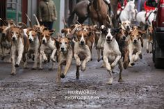 Galloping Hounds from the Hurworth Hunt and Bilsdale Hunt. North Yorkshire, England.