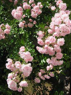 Climbing rose 'Rosenholm'