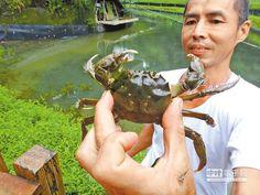 苗栗大閘蟹以清澈山泉水養殖,確保無土腥味而且蟹味濃郁。(特約記者談曉泉攝)