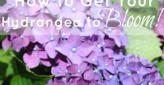 "Otherwise entitled, ""How My Hydrangeas Got Their Groove Back."" The hydrangea is my absolute favorite plant to see in a yard, with a possible..."