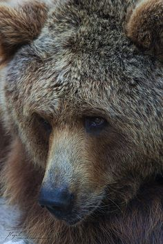 beautiful brown bear ✿⊱╮                                                                                                                                                      More