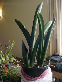 sansevieria | PlantFiles: Picture #1 of Sansevieria (Sansevieria sinus-simiorum)