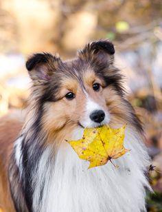 Animals And Pets, Cute Animals, Mini Collie, Shetland Sheepdog, Sheltie, Corgi, Heart, Photos, Pets