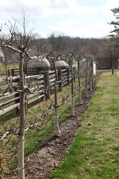 espaliered apples along fence- I have always wanted to try this