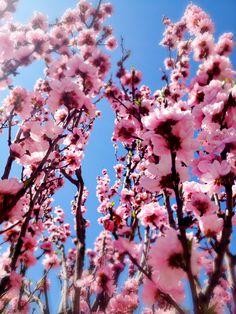sakura - cherry blossom in Tokyo *photo by afs