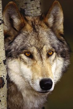 Wolf Backgrounds Iphone Wolf Wallpaper Animal Background