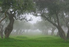 Old olive grove