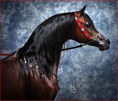 Marwan Al Shaqab (Gazal Al Shaqab x Little Liza Fame) 2000 Bay Stallion