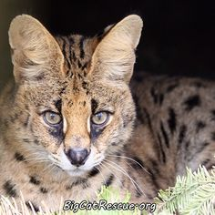 Bongo Serval has the most beautiful, big brown eyes ever to grace a Serval face.